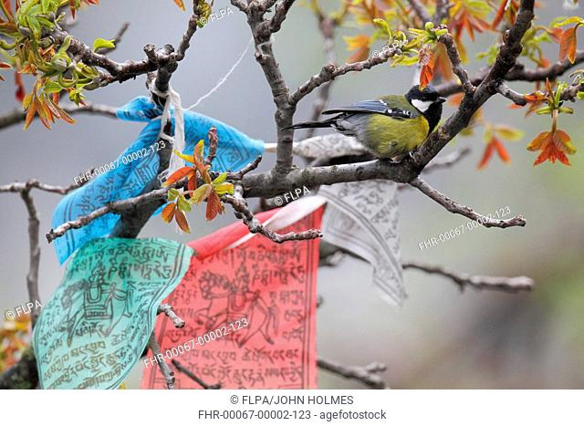 Green-backed Tit Parus monticolus adult, perched on branch in tree with Tibetan prayer flags, Yunnan, China, april