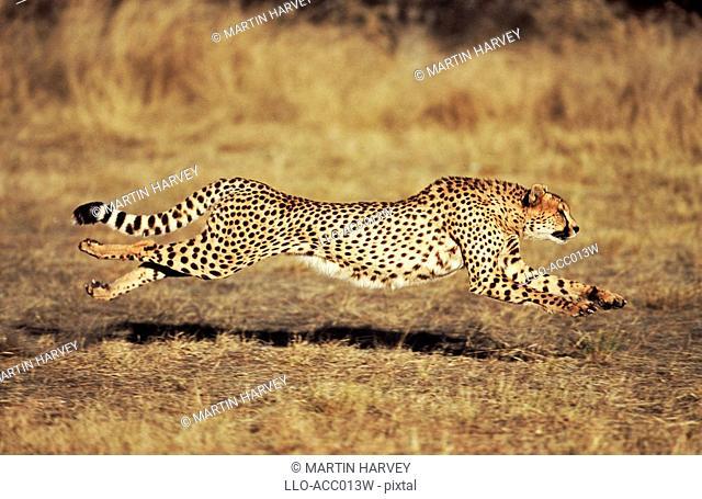 Front View of a Female Cheetah Acinonyx jubatus Running  Harnas Wildlife Sanctuary, Namibia
