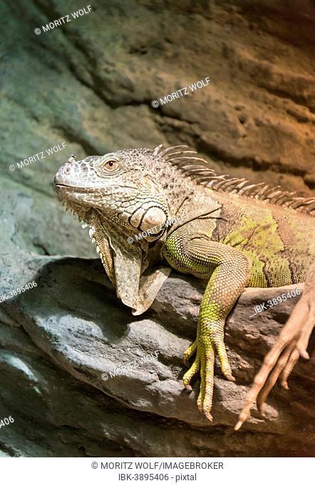 Green Iguana (Iguana iguana), captive