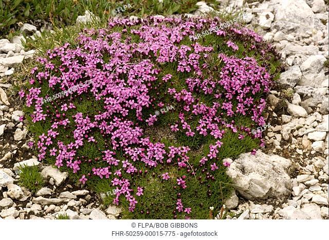 Moss Campion Silene acaulis flowering, alpine tussock plant