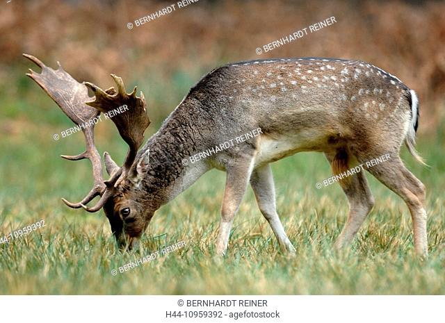 fallow deer, deer, stags, stag, cloven-hoofed animal, antler, Cervid, Dama Dama, winter coat, rutting season, autumnal, wood, forest, wild animals, animal