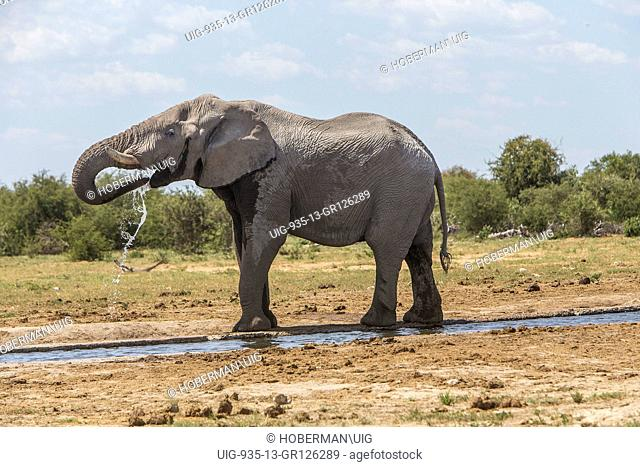African Bull Elephant At Waterhole Drinking Water