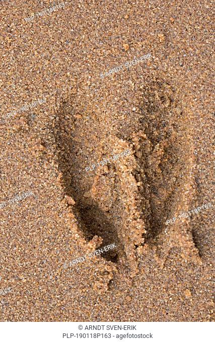 European roe deer (Capreolus capreolus) close-up of footprint / tracks in wet sand