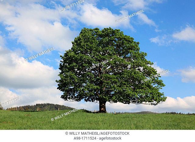 Sycamore maple tree in Bohemia, Czech Republic, Europe