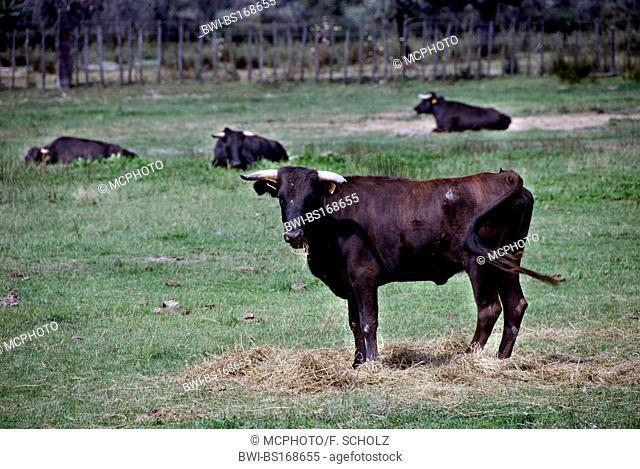 domestic cattle (Bos primigenius f. taurus), bulls, France, Camargue, Petit Camargue