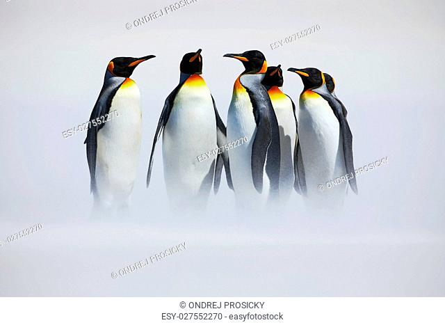 Group of penguin. Group of six King penguins