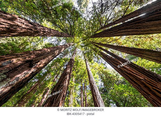 Coast redwoods (Sequoia sempervirens), tree canopy, Muir Woods National Park, California, USA