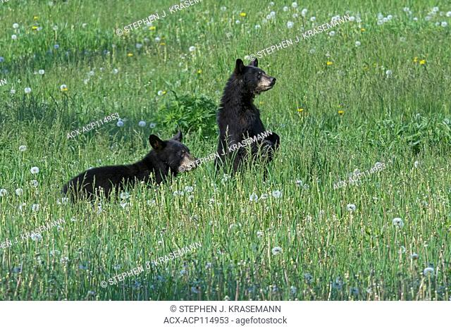 Wild yearling black bears (Ursus americanus), in field of dandelions, Quetico Provincial Park, Ontario, Canada