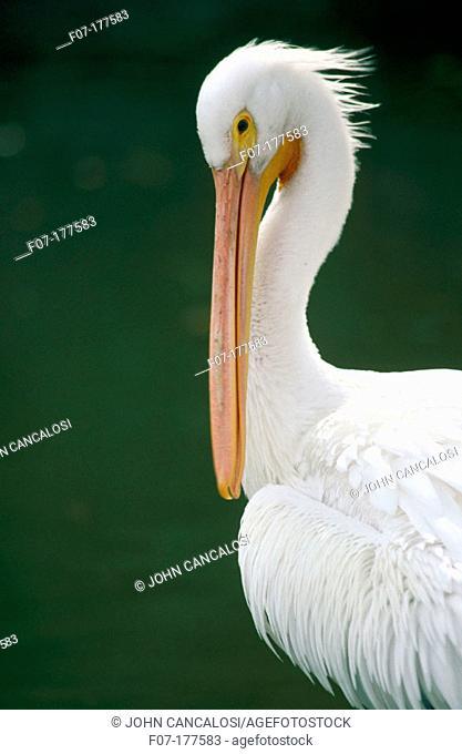 American White Pelicans (Pelecanus erythrorhynchos). Texas. USA
