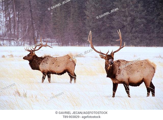 Elk or Wapiti Cervus elaphus