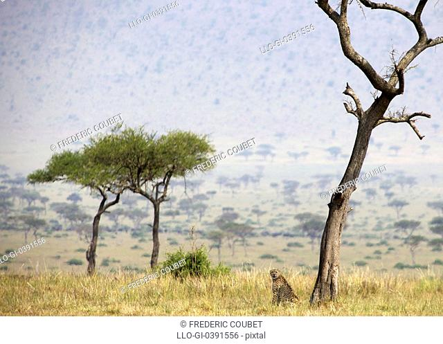 Cheetah Acinonyx jubatus resting at foot of tree, Masai Mara National Reserve, Kenya