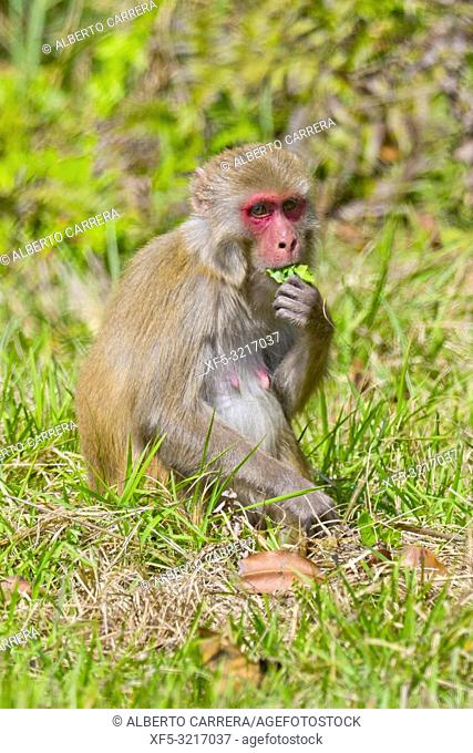 Rhesus Macaque, Macaca mulatta, Royal Bardia National Park, Bardiya National Park, Nepal, Asia
