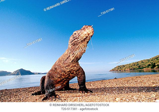 Komodo dragon in natural environment, Varanus komodoensis, Indonesia, Indian Ocean, Komodo National Park