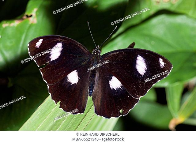 Male Common Eggfly Butterfly, Hypolimnas bolina, Queensland, Australia