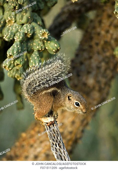 Harris' Antelope Squirrel (Ammospermophilus harrisi) - Also called Yuma Antelope Squirrel - Arizona - Found in southwestern Arizona and northwestern Mexico -...