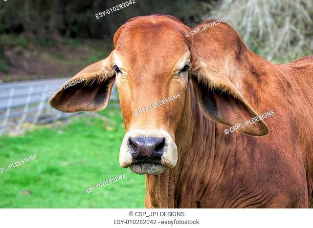 Brahman Cow Closeup Portrait