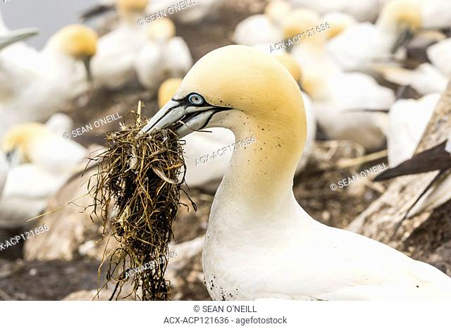 Northern Gannet, Morus bassanus, close-up shot, Cape St. Mary's ecological reserve, Newfoundland, Canada, with nesting material
