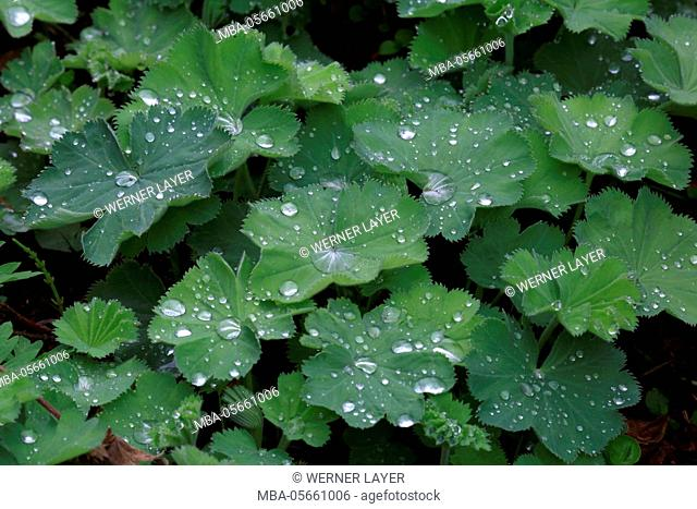 bear's foot, leaves with drops of water, Alchemilla vulgaris