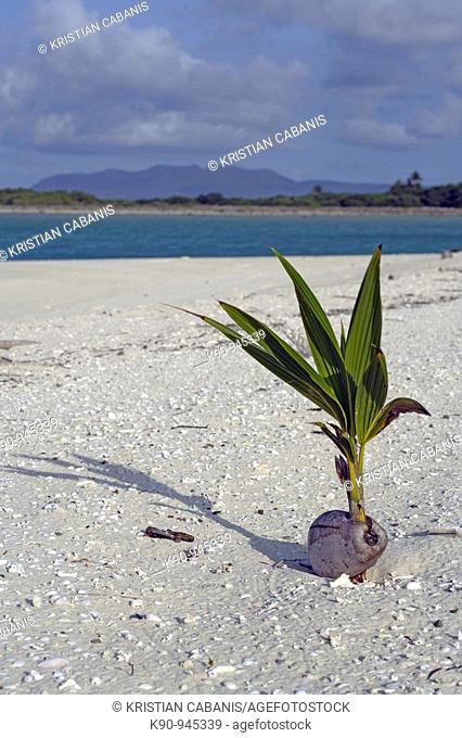 One single small and young coconut tree with nut on tropical white beach with islands in the background and blue sky, Reef Islands Atoll, Banks Group, Vanuatu