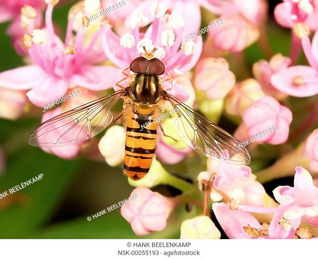 Marmalade Hoverfly (Episyrphus balteatus) sitting on an unidentified flower, France