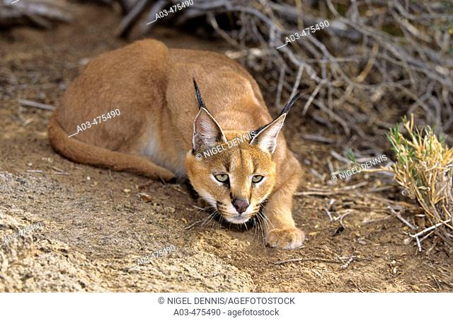 Caracal, Felis caracal, stalking prey, Augrabies Falls National Park, N. Cape, South Africa