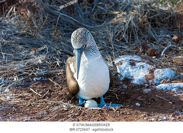 Galapagos Blue-footed Booby (Sula nebouxii excisa), Seymour Norte, Galápagos Islands, Ecuador