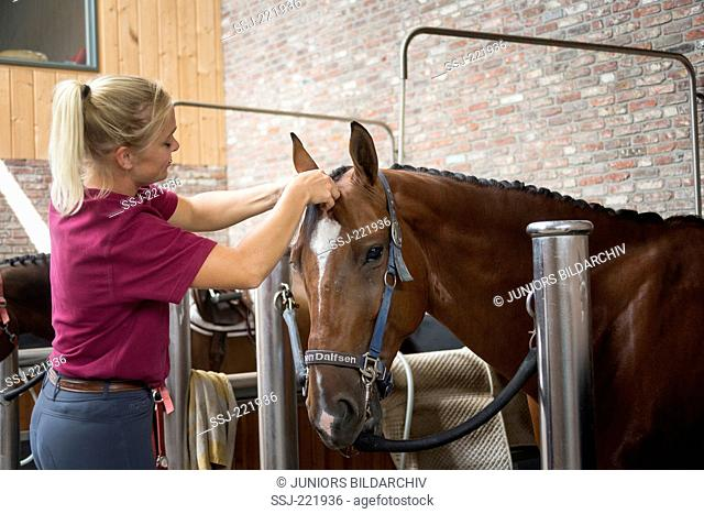 Dutch Warmblood. Groom plaiting the mane of a horse. Netherlands