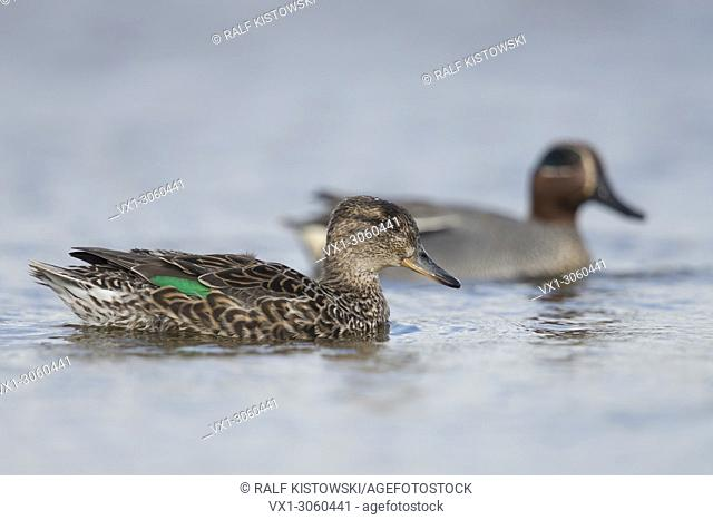 Teal ( Anas crecca ), female together with male, pair of teals, pair, in colourful breeding dress, swimming next to each other, wildlife, Europe