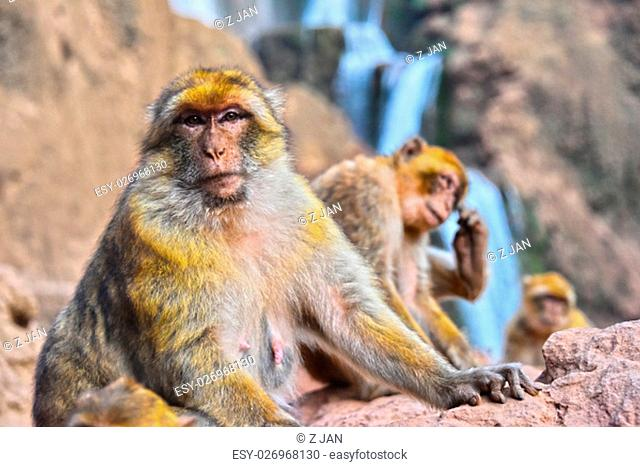 Barbary macaque (Macaca sylvanus), at the Ouzoud falls in Morocco