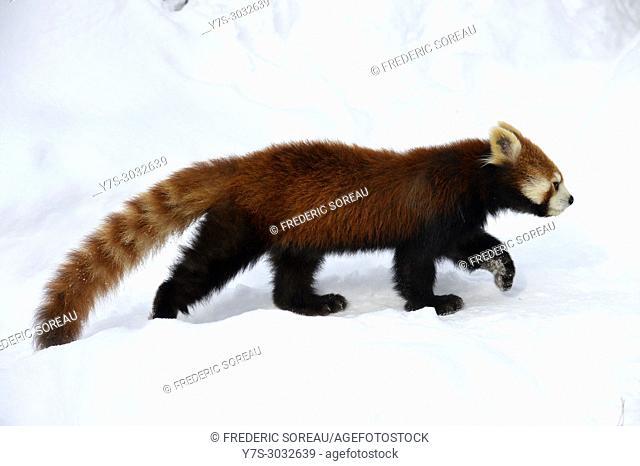 Red Panda, lesser Panda in Asahikawa Zoo, Hokkaido, Japan, Asia