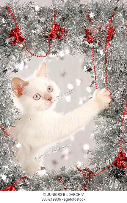 British Shorthair. White kitten playing with silver garland. Germany