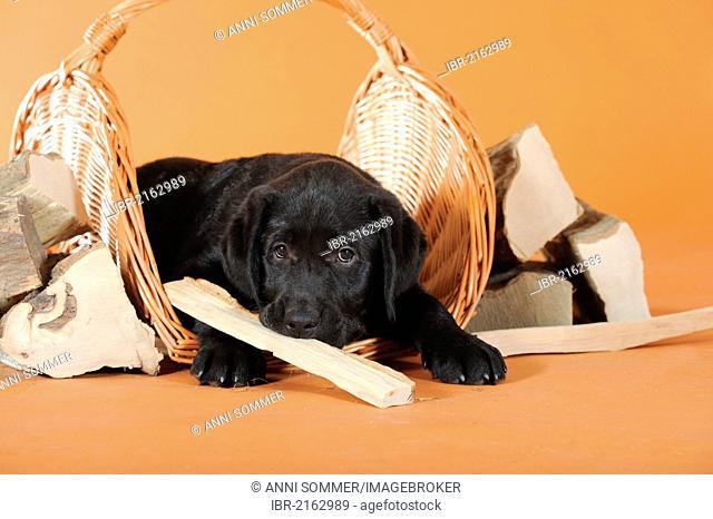 Black Labrador Retriever puppy lying between pieces of firewood