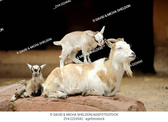 Close-up of domestic goat (Capra aegagrus hircus) mother with her kids on a rock in spring