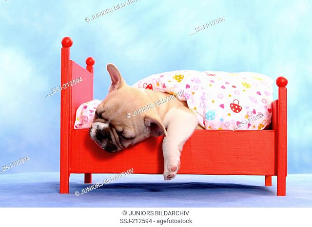French Bulldog. Puppy (6 weeks old) sleeping in a red dolls bed. Studio picture against a white background. Germany