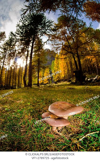 Mushrooms under the woods, in autumn time. (Champorcher's valley, Aosta Valley, Italy)