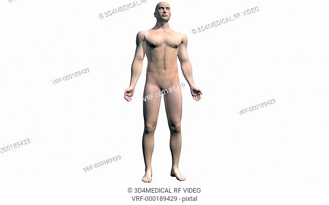 Animation depicting a rotation around the body showing the skeletal and central nervous systems. As the camera rotates around the body the skin fades to reveal...