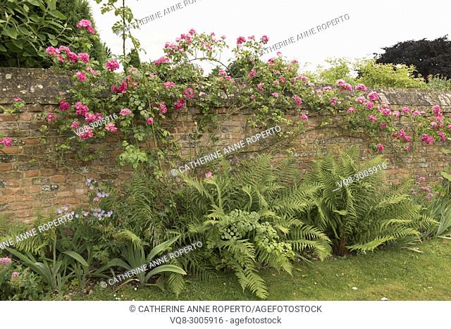 Bright pink roses tumbling over a mellow terracotta brick wall in the fernery of 'Fair Rosamund's' Grange, in Frampton on Severn, the Cotswolds, England