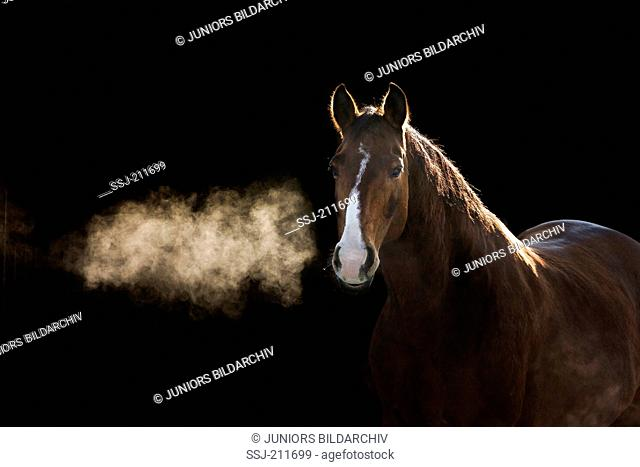 Hanoverian Horse. Portrait of bay gelding in winter, showing hot breath. Germany