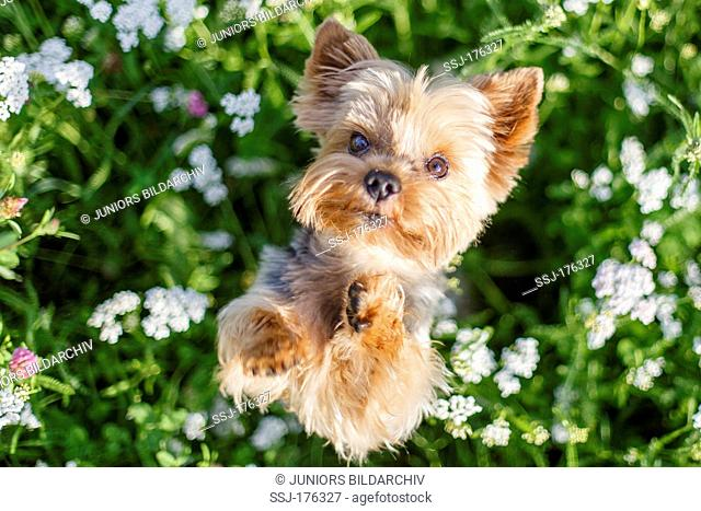 Yorkshire Terrier standing upright in a flowering meadow while looking into the camera