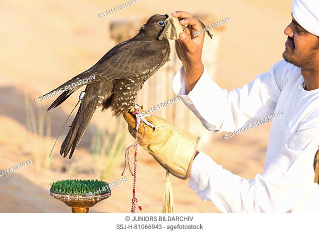 Saker Falcon (Falco cherrug). Falconer attaching a hood on the head of a trained bird. Abu Dhabi