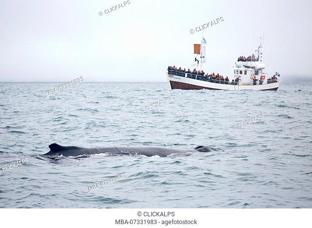 Humpback whale, Husavik bay, Husavik,nodurland eystra northern iceland, iceland