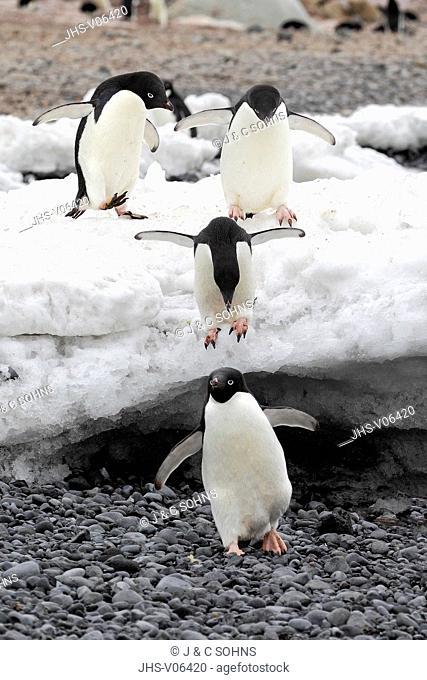 Adelie Penguin, (Pygoscelis adeliae), Antarctica, Half Moon Island, group of adults at beach