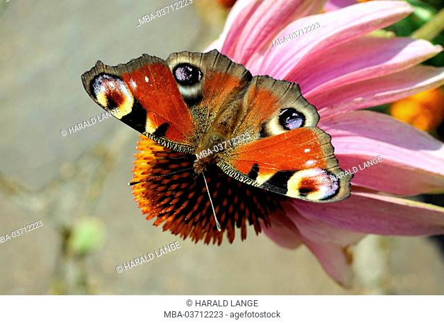 Butterfly, peacock, blossom