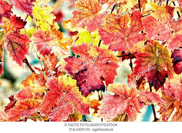 Autumn leaves in a vineyard. Rioja alavesa wine route. Alava. Basque country. Spain