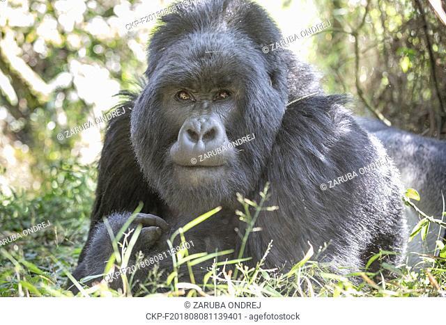 Mountain Gorilla, Gorilla beringei beringei, Volcanoes National Park in Kinigi, Uganda, July 13, 2018. (CTK Photo/Ondrej Zaruba)
