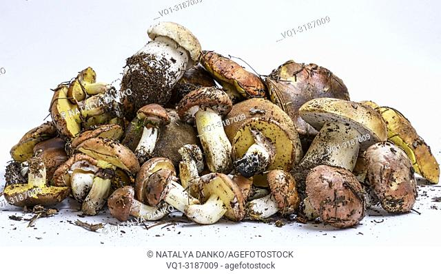 fresh edible forest mushrooms on a white background, Suillus luteus and Boletus edulis