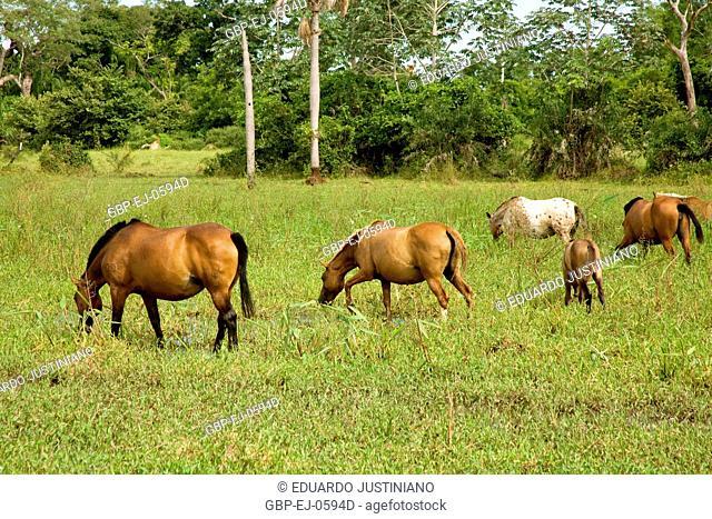 Horses Grazing on, Corumbá, Mato Grosso do Sul, Brazil