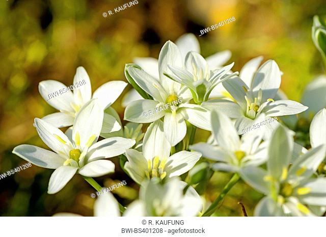 sleepydick, star of bethlehem (Ornithogalum umbellatum), blooming in a meadow, Germany, Baden-Wuerttemberg