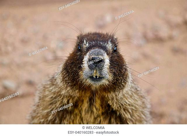 Yellow Bellied Marmot (whistle pig): Close Relative of the Woodchuck of the East and Midwest and the Largest of the Ground Squirrel Family
