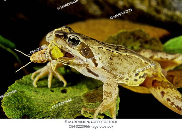 Freshwater Rivers. Iberian Frog (Rana iberica) devouring grasshopper. Rio Tea. Galicia. Spain. Europe